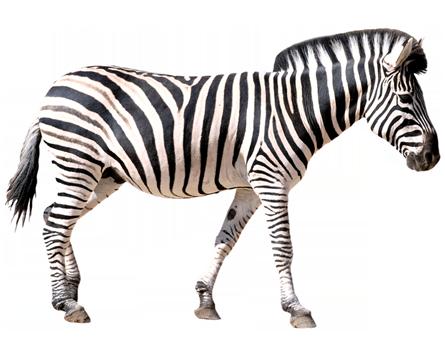 zebra-icoon